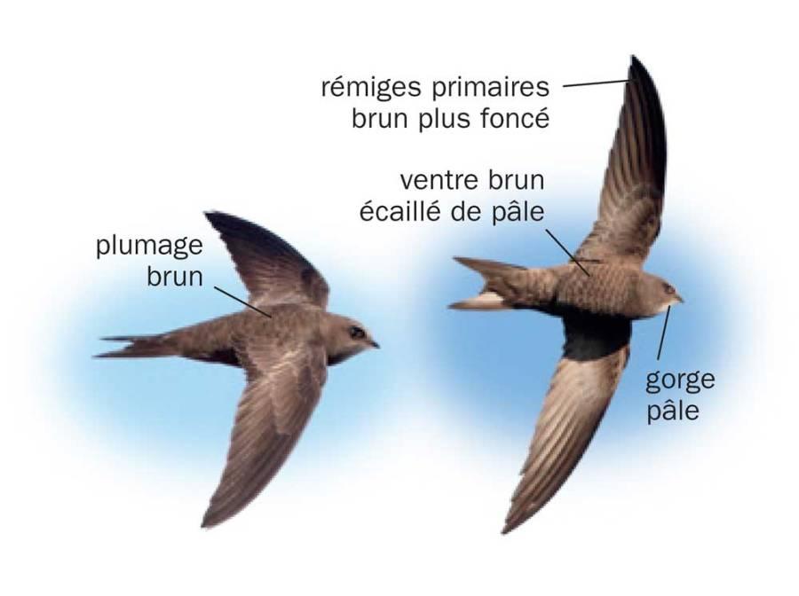 Martinet pâle © Tous les oiseaux de France ISBN 978-2-603-02074-6 - Reproduction interdite