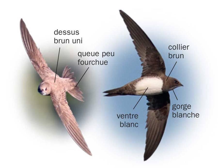 Martinet à ventre blanc © Tous les oiseaux de France ISBN 978-2-603-02074-6 - Reproduction interdite