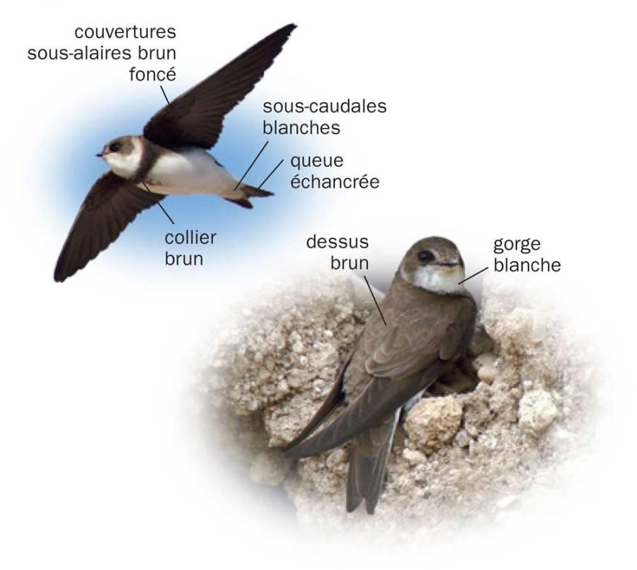 Hirondelle de rivage © Tous les oiseaux de France ISBN 978-2-603-02074-6 - Reproduction interdite