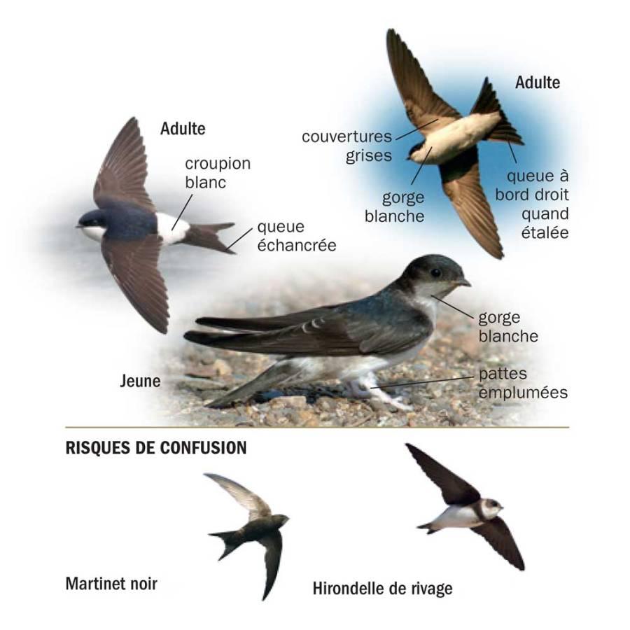 Hirondelle de fenêtre © Tous les oiseaux de France ISBN 978-2-603-02074-6 - Reproduction interdite