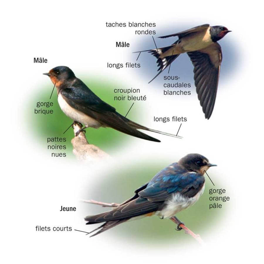 Hirondelle de rustique © Tous les oiseaux de France ISBN 978-2-603-02074-6 - Reproduction interdite