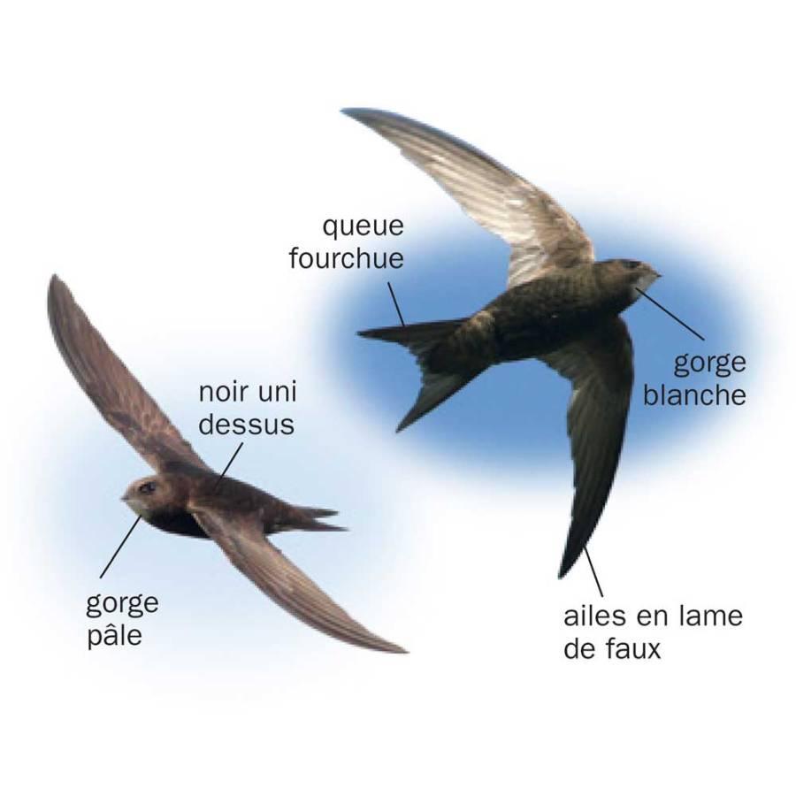Martinet noir © Tous les oiseaux de France ISBN 978-2-603-02074-6 - Reproduction interdite