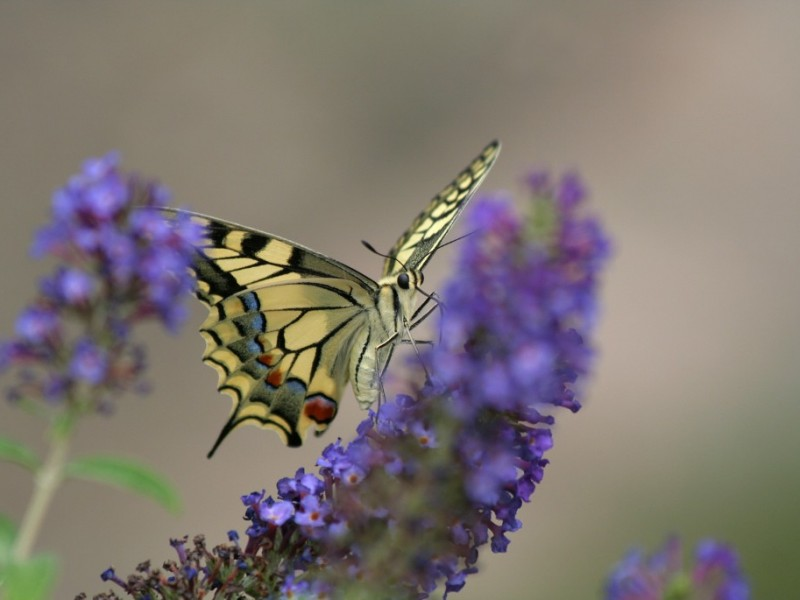 Machaon ©Robert Monleau