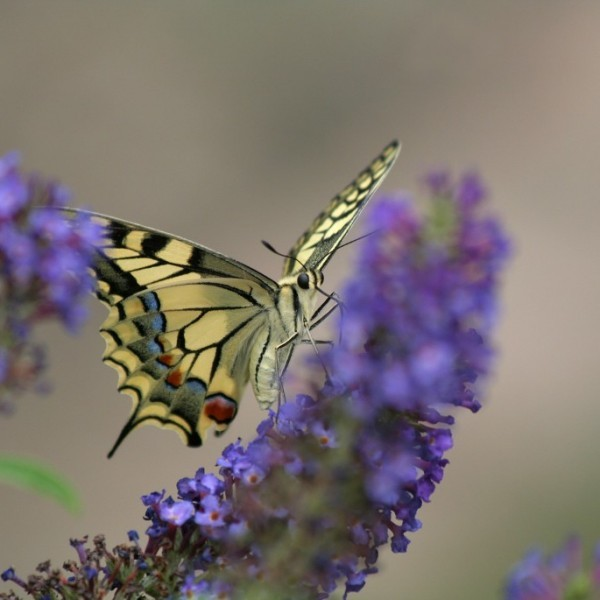 Machaon (c) Robert Monleau