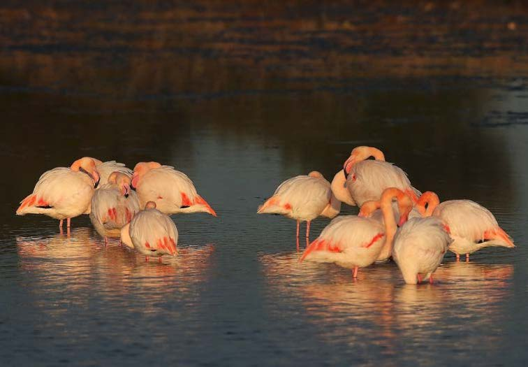 Flamants roses © Norbert Chardon