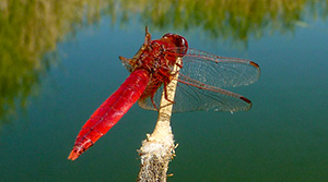 Crocothemis erythrea - photo Tangi Corveler